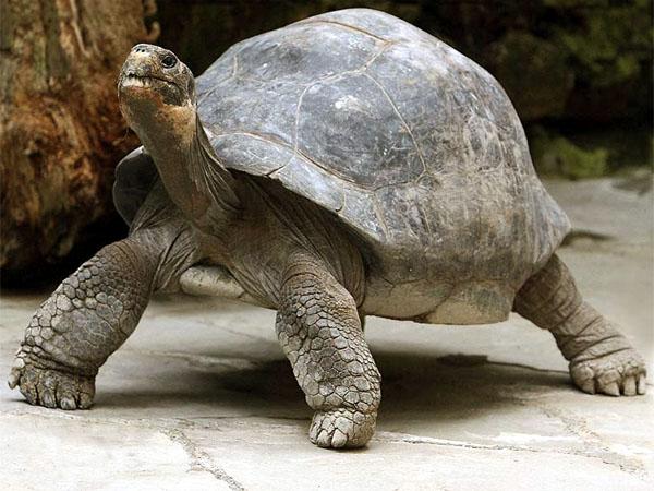 Черепаха Гала
